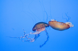 A pair of Moon jellyfish in a blue water background