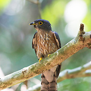 The Hodgson's hawk-cuckoo (Hierococcyx nisicolor), also known as the whistling hawk-cuckoo is a species of cuckoo found in southeast Asia.