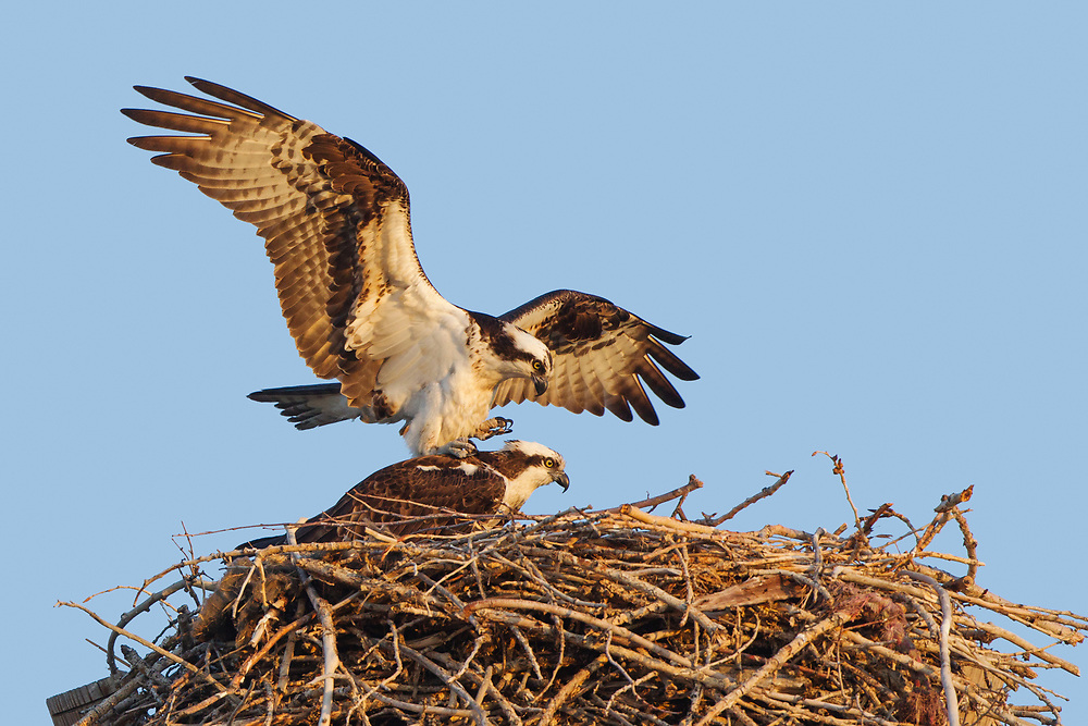 Stock photo of flying osprey captured in Colorado.  This raptor feeds mainly on fish.  The feathers are highly water resistant and the feet are heavily scaled to better clamp onto the fish.