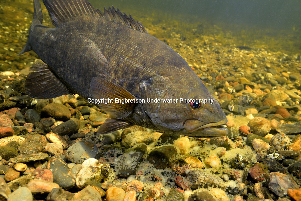 Smallmouth Bass (male guarding nest of eggs)<br /> <br /> Engbretson Underwater Photo