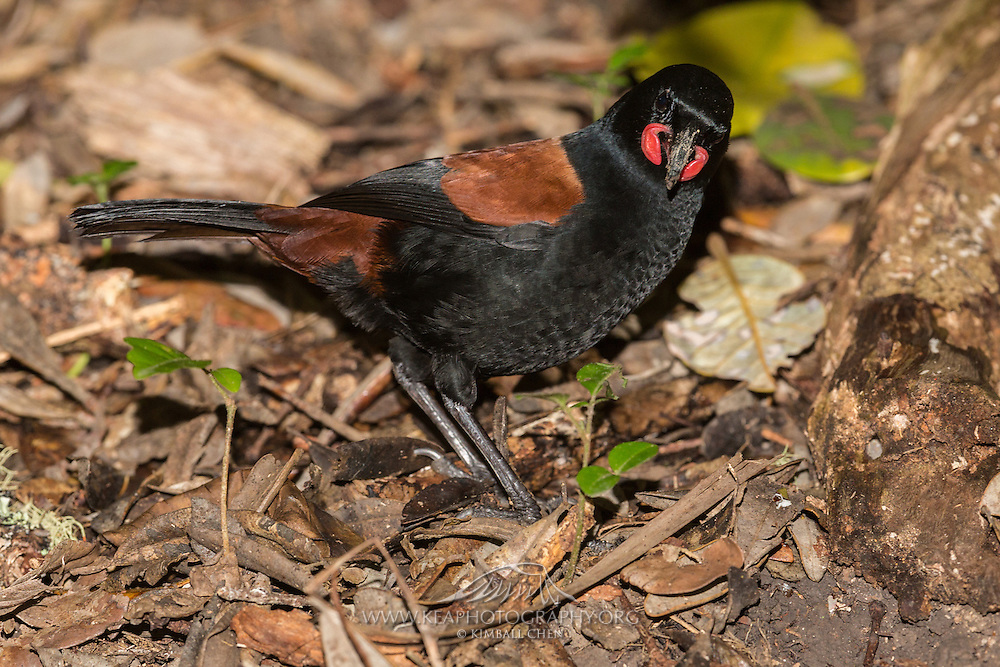 The saddleback's wattles are brilliant orange teardrops, more prominent on an adult than a juvenile.<br /> <br /> The saddleback's cousins, the extinct huia and the kokako also have wattles.