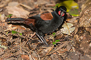 The saddleback's wattles are brilliant orange teardrops, more prominent on an adult than a juvenile.<br />