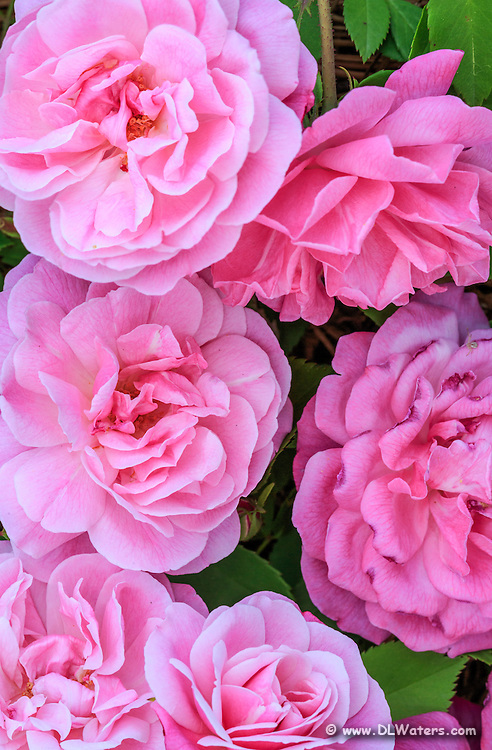 A cluster of pink roses photographed in Corolla on the Outer Banks of North Carolina.