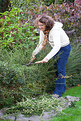 Trimming an evergreen hedge with hand shears - Lonicera nitida