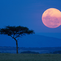 Africa, Kenya, Masai Mara Game Reserve, Full moon rises above lone tree on savanna at dusk