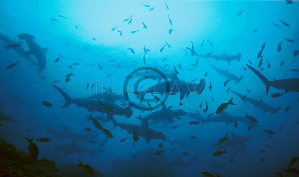 Scalloped Hammerhead - Sphyrna lewini.Galapgos Islands, Ecuador..School in blue..