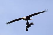 A Northwestern crow (Corvus caurinus) attempts to attack a bald eagle (Haliaeetus leucocephalus) in flight.