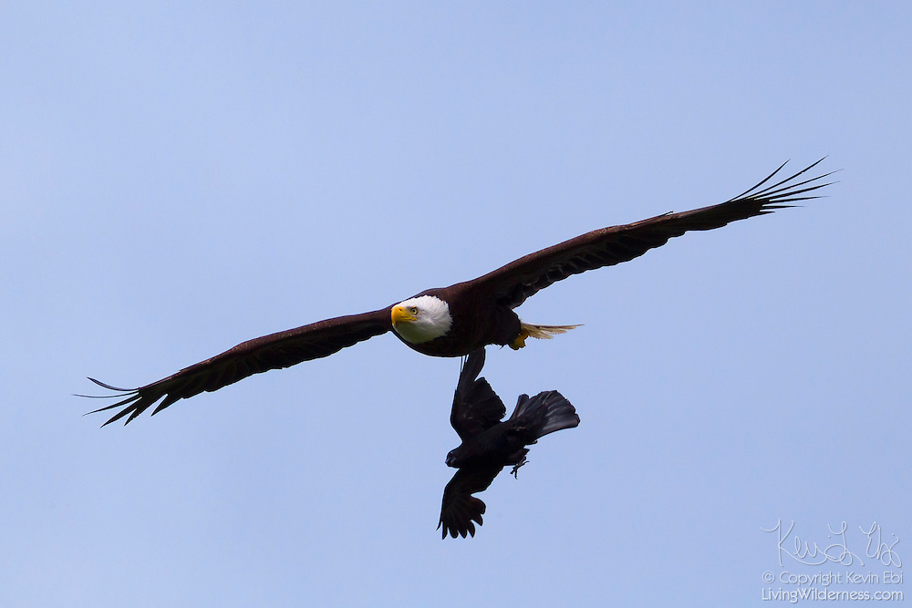 A Northwestern crow (Corvus caurinus) attempts to attack a bald eagle (Haliaeetus leucocephalus) in flight.