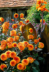 Dahlia 'David Howard' with Canna 'Wyoming' in the exotic garden at Great Dixter