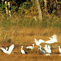 Biddeford, ME.Snowy egrets, Egretta thula,  feed in a salt marsh near Biddeford Pool.  TPL project - Anuszewski property.