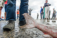 Shark catch lying ready for market on the harbour slipway, Struisbaai Harbour, Western Cape, South Africa.