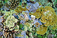 Mixed community of colourful sponges, hard corals and algae, Rurbas, West Papua, Indonesia.