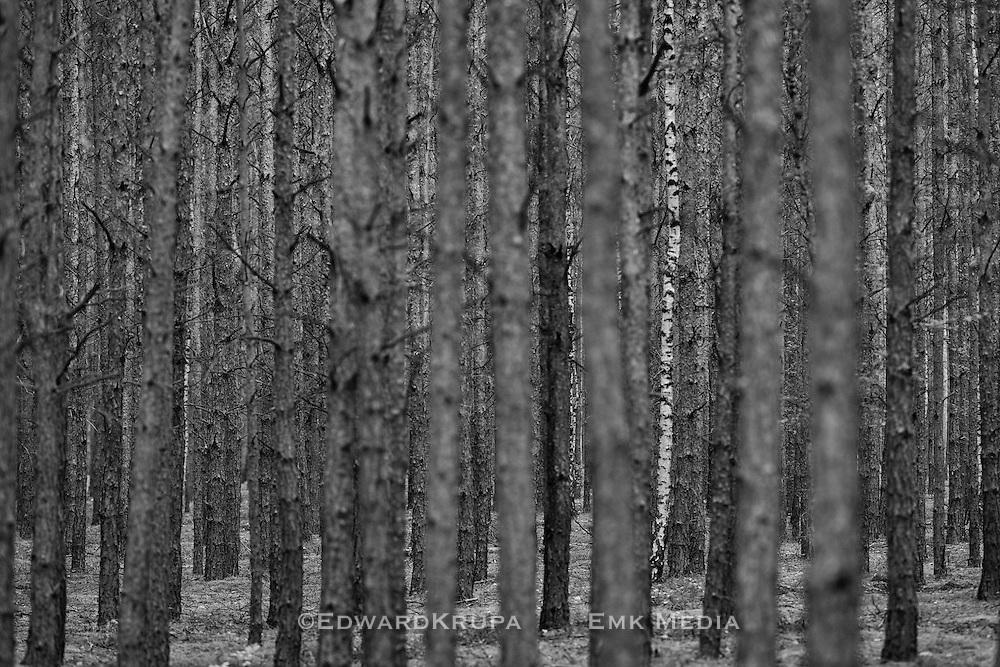 Zagan Pines 9