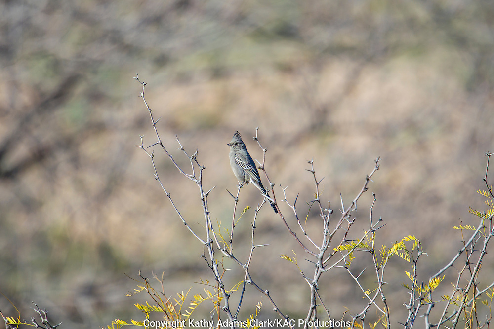 Phainopepla, Phainopepla nitens, Big Bend National Park, Chihuahuan Desert, west Texas, winter.