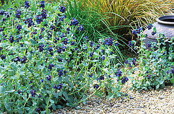 Cerinthe major 'Purpurascens' in the gravel garden at Ketley's. Design: Helen Yemm