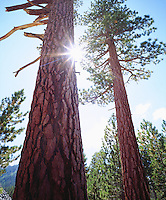 I always try to position the sun just perfect in my photography like in this photo of old growth Ponderosa Pine trees in the High Sierra.  Even tho backlit, my high resolution camera equipment allows me to get god rays while retaining detail in the bark of the tree.