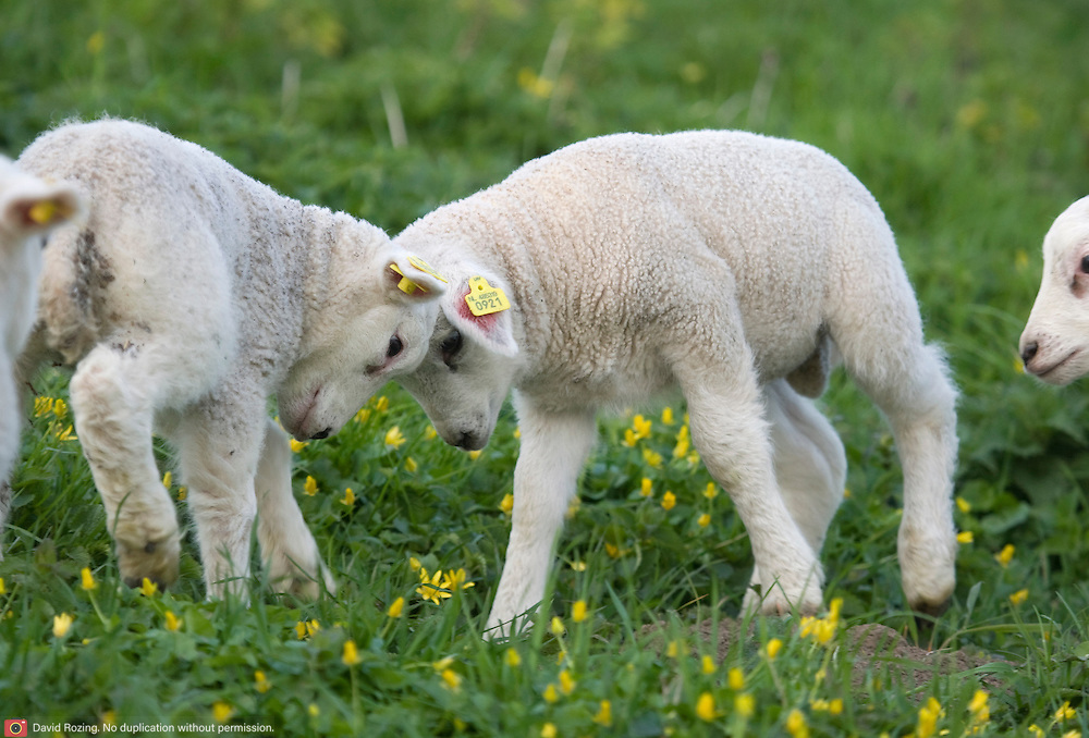 Nederland Barendrecht 5 april 2009 20090405 Foto: David Rozing ..Jonge lammetjes in de wei aan het stoeien, lente, lenteweer.Little lambs playfull in field in springtime..Foto: David Rozing