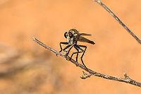 Robber flies (also known as assassin flies) are one the coolest insect predators in nature. Bristling with long stiff hairs, these vicious specialists typically hunt a particular kind of prey, based on their species, such as ants, bees, dragonflies, beetles, grasshoppers, wasps or spiders. The stiff hairs on the face act as a protective shield to help protect their eyes against their struggling and potentially harmful meal as it forces its sharp proboscis through the exoskeleton of its victim. This unidentified species was photographed near the El Malpais National Monument in Cibola County, New Mexico.