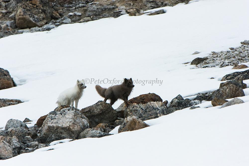 Arctic Fox<br /> (Vulpes lagopus)<br /> Spitsbergen<br /> Svalbard<br /> Norway<br /> Arctic Ocean