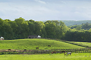 Mount Hope, New York - Thoroughbred horses graze in a field at Hidden Lake Farm on May 25, 2013.