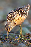 Long-billed Dowitcher (Limmodromus scolopaceus) on beach at Comox, Vancouver Island, Canada   Photo: Peter Llewellyn