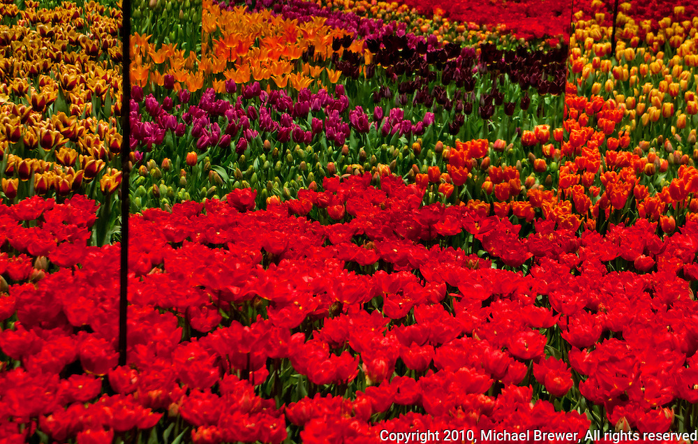 Masses of different colored tulips on display at the Gardenia Garden Show in Zürich, Switzerland.