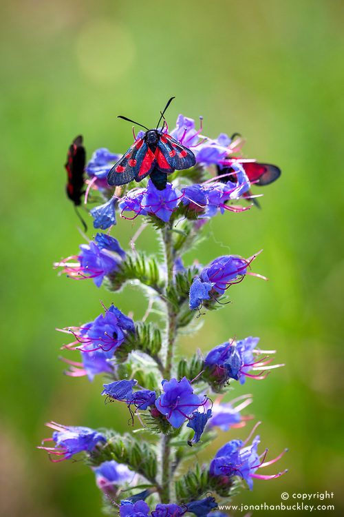 Burnet moths (Zygaena filipendulae) on Viper's bugloss (Echium vulgare)