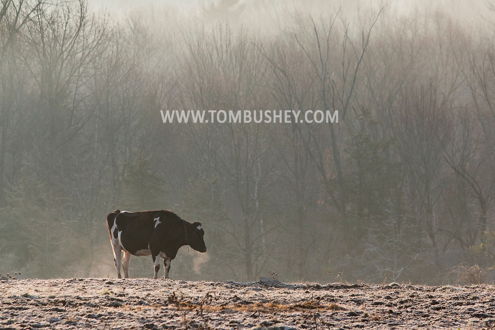 Mount Hope, New York - The breath from a cow in a farm field is visible on a cold morning on  Nov. 26, 2015. Frost is covering the ground and fog is in the background.