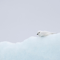 A snow petrel rests on an iceberg from the Nordenskjold Glacier in Cumberland East Bay on the north coast of South Georgia Island.