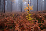 Western larch forest in fall. Yaak Valley Montana