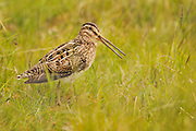 Snipe (Gallinago gallinago)<br /> Portrait of a bird in a marsh. <br /> Outer Hebrides, Scotland