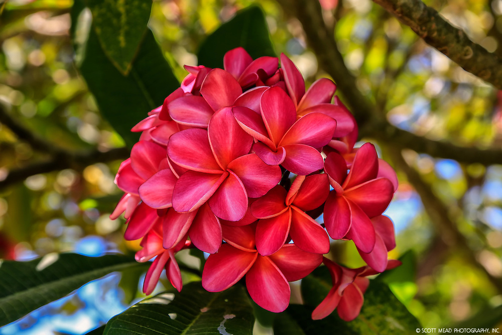 A cluster of magenta plumerias bloom at the National Botanical Gardens in poipu, Kauai, Hawaii
