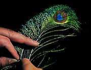 Joel LaFolette is a champion fly fisherman who will demonstrate tying and talk about fishing at the upcoming Sportsmen's Show. He uses natural elements like this peacock feather to make his lures.
