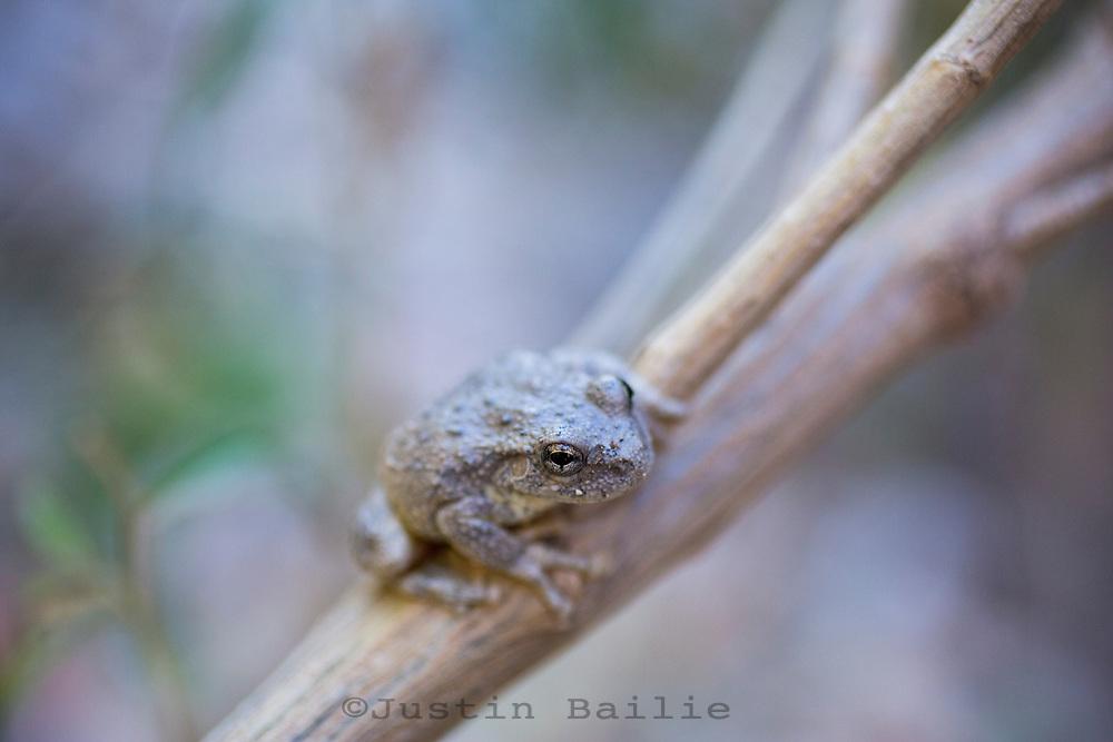 Canyon Treefrog (Hyla arenicolor) Aravaipa Canyon, AZ Preserve, AZ.