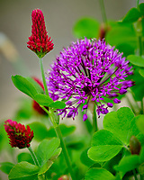 Purple Allium and Crimson Clover flowers.  Image taken with a Fuji X-H1 camera and 200 mm f/2 lens + 1.4x teleconverter (ISO 250, 280 mm, f/2.8, 1/420 sec)