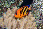 The Flame Angelfish (Centropyge loriculus) is a bright orange-red fish with black stripes found in the Pacific coral reefs. Seattle Aquarium, Washington, USA.