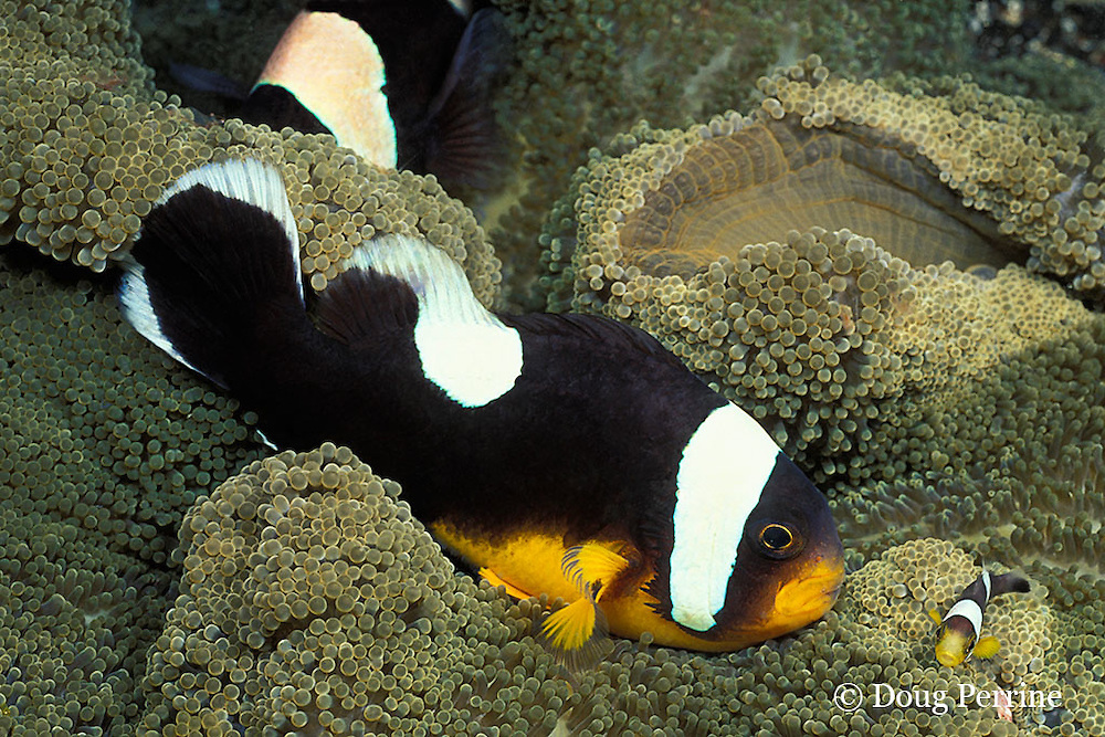 saddleback anemonefish or panda clownfish, Amphiprion polymnus, on sea anemone, Stichodactyla haddoni, Garove Island, Papua New Guinea ( Bismarck Sea )