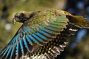 Kea (Nestor notabilis) Arthur's Pass, New Zealand | Kea oder Bergpapagei (Nestor notabilis); Im Flug sieht man die leuchtend bunten Federn der Keas besonders gut. Arthur's Pass, Neuseeländische Alpen, Neuseeland.