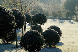 Holly clipped into standard topiary balls on a frosty morning in winter. Ilex aquifolium 'Siberia'. Design John Massey, Ashwood Nurseries