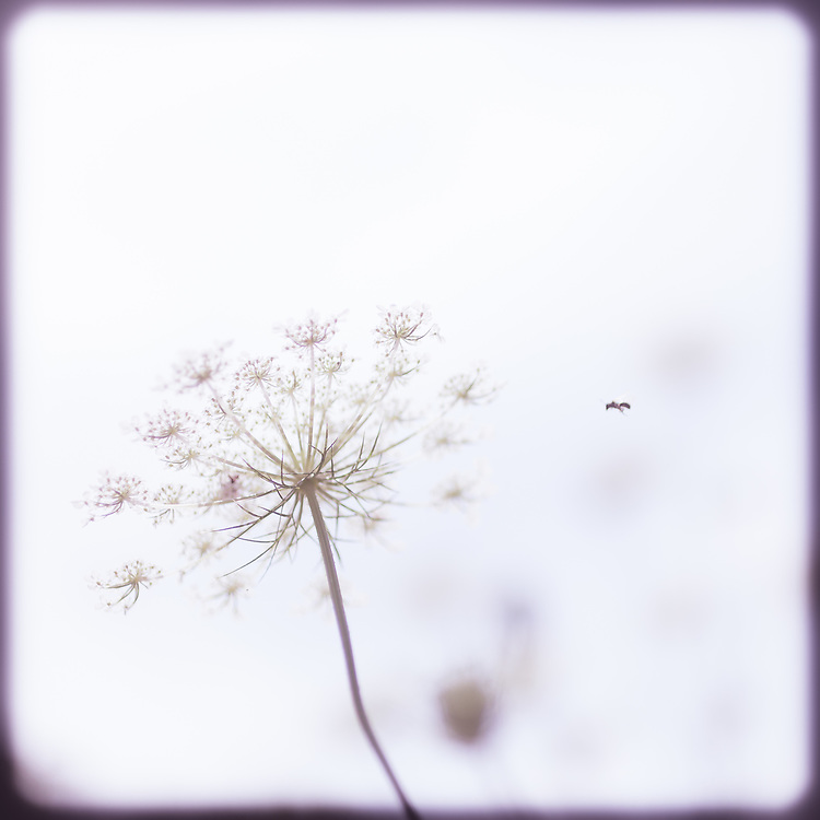 A pink pastel photograph of a Queen Anne's Lace flower with a bee buzzing around it on a white background. A pink pastel border ties the image together. A pretty and soft image for any room that evokes a peaceful mood like a baby's room, bedroom, bathroom, office, reading room etc.