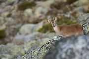 Spanish ibex (Capra pyrenaica) female looking directly at camera. Sierra de Gredos, Avila, Castille-Leon, Spain.
