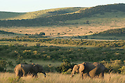 African elephants in savannah, Masai Mara, Kenya