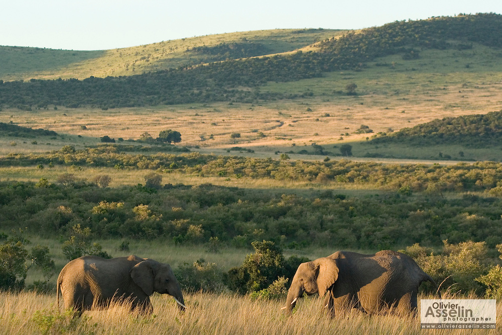 African elephants in savannah, Masai Mara, Kenya