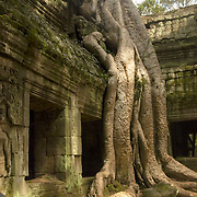 One of the fig trees growing at Ta Phrom temple