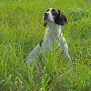 Photography of spaniels in the field, during an AKC approved Hunt Test.  Hunt Test took place at the Bong Recreation Area, Burlington, WI, Sept 2, 2012..