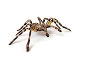 pet Tarantula spider On white Background