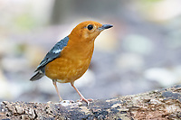The orange-headed thrush (Geokichla citrina) is a bird in the thrush family. It is common in well-wooded areas of  Southeast Asia. Most populations are resident. The species shows a preference for shady damp areas, and like many Zoothera thrushes, can be quite secretive.
