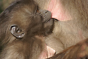 Africa, Ethiopia, Simien mountains, baby Gelada monkey Theropithecus gelada breast feeding