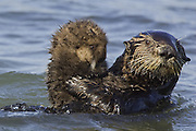 Southern Sea Otter<br /> Enhydra lutris<br /> Mother holding 1 week old pup<br /> Monterey Bay,  CA, USA