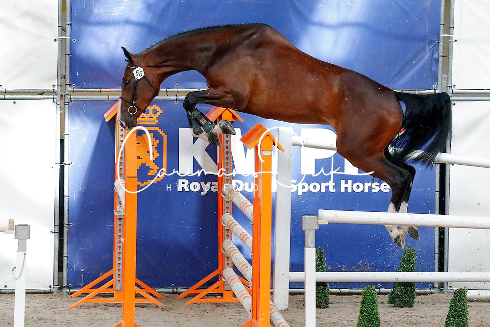 066 - Fantastico<br /> Vrijspringen<br /> KWPN Paardendagen Ermelo 2013<br /> &copy; Dirk Caremans